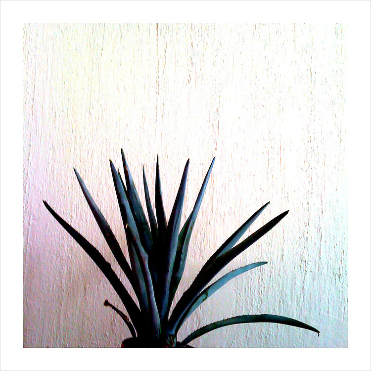 A blue agave plant finds a potted home inside of the office of a tequila distillery manager, in Jalisco, Mexico.(iPhone image) --- Image created for http://tastetequila.com