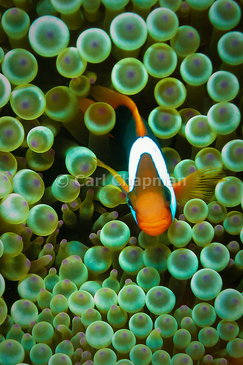 Bulb Tentacle Sea Anemone (entacmaea quadricolor) and Red Black Anemonefish (Amphiprion melanopus) - Agincourt Reef, Great Barrier Reef, Queensland, Australia.