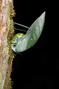 Bush Katydid (Sub-fam. Phaneropterinae, Tettigoniidae) Female depositing eggs under bark using ovipositor<br /> Yasuni National Park, Amazon Rainforest<br /> ECUADOR. South America