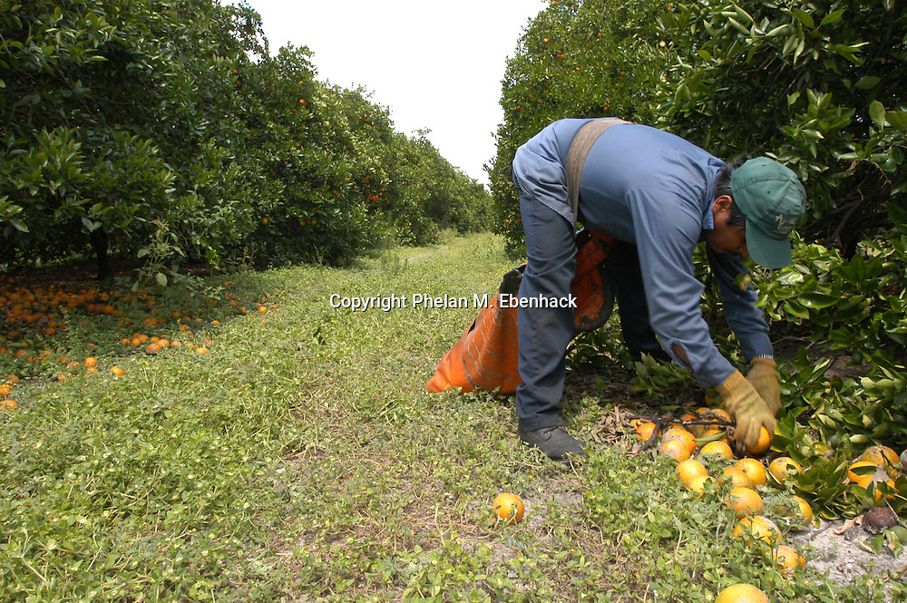 A worker picks up oranges at a grove in Lake Wales, Florida.