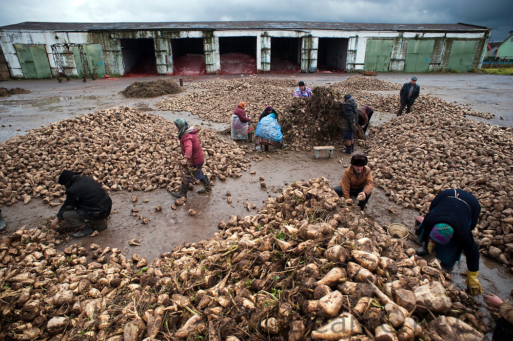 Workers sort by hand through heaping piles of harvested rutabagas at the Pobyeda (Victory) collective farm in the village of Ivanovka on Oct. 28, 2009.