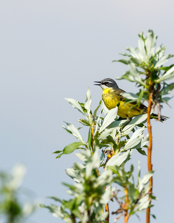 Eastern Yellow Wagtail (Motacilla tschutschensis) perched in willow near Nome in Northwest Alaska. Spring. Afternoon.