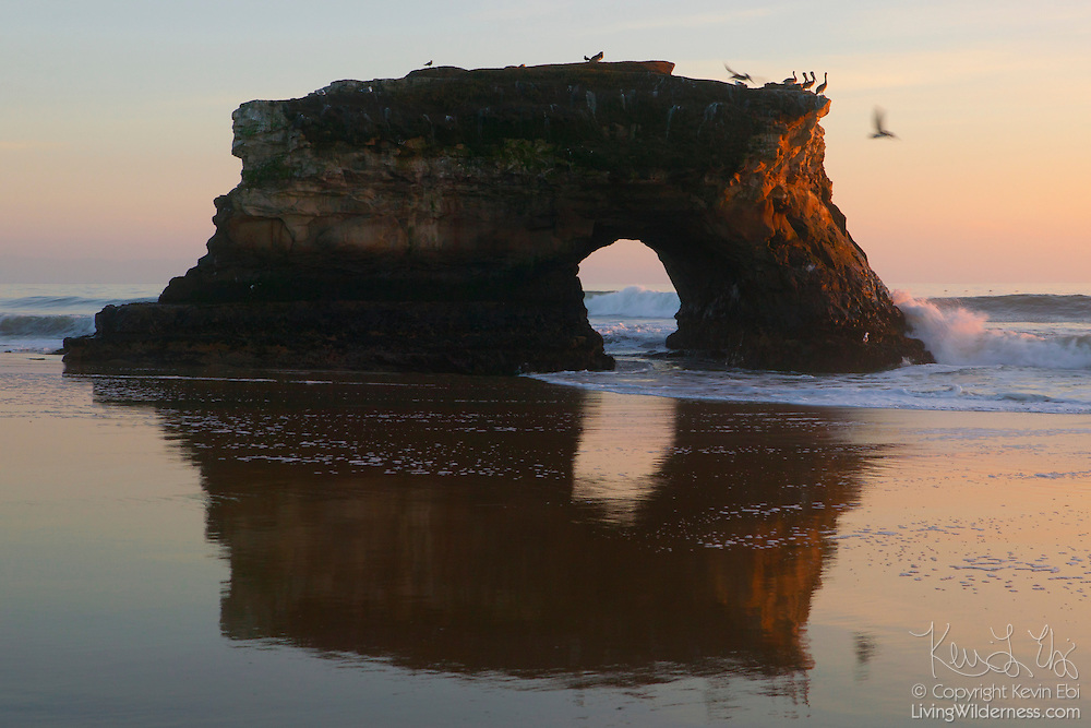 Brown pelicans dive off Natural Bridge near Santa Cruz, California at sunset. There used to be three arches, but the second one collapsed in the early 1980s. The first collapsed even earlier. Arches or bridges form when waves continually pound a weak spot in the rock, wearing a hole through it. Over time, continued erosion enlarges the hole so much that the overlying rock can no longer be supported and it collapses. A bridge is a span that connects to the mainland; an arch stands by itself.