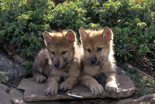 Gray Wolf, (Canis lupus) Portrait of pups. Rocky mountains. Montana.  Captive Animal.