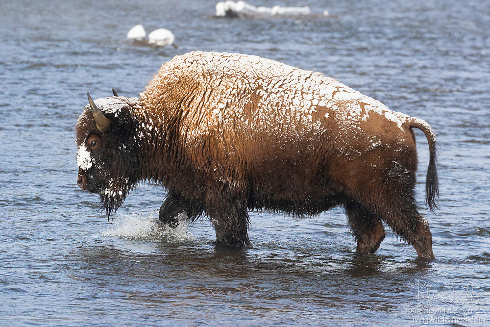 A snow-dusted American bison (Bison bison) crosses the Firehole River in winter in Yellowstone National Park, Wyoming.