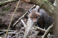renard roux, zorro común