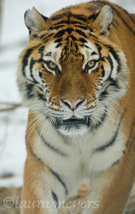Siberian Tiger Female in the snow at the Bronx Zoo.