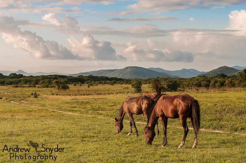 Guyana's Rupununi Savannas were once home to the largest cattle ranches in the world. While much smaller now, horses are vital for cowboys who maintain the current ranches.