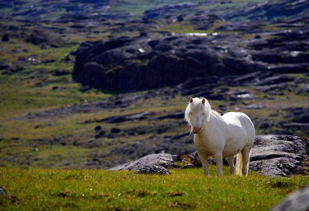 The Icelandic horse is a small breed of horse.  The breed was developed from ponies in 1904.