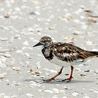 Ruddy Turnstone walking on a Florida beach