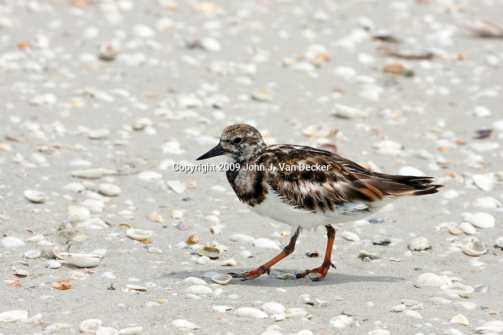 Ruddy Turnstone walking on a Florida beach