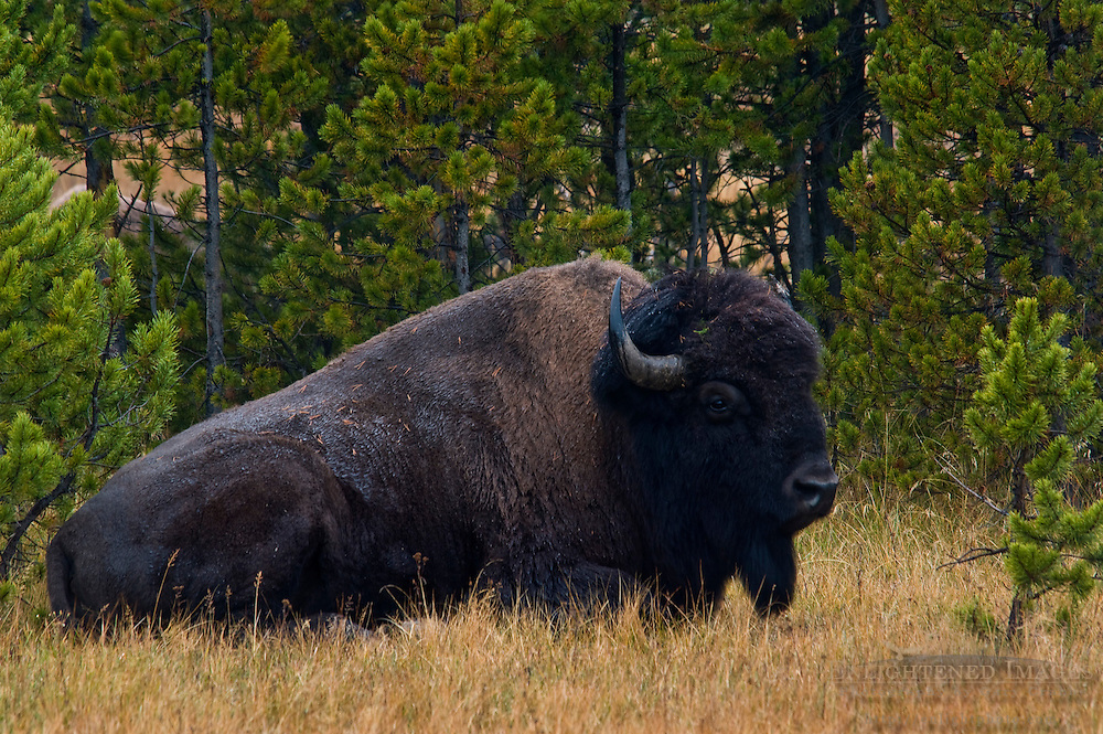 American Bison Buffalo at Buscuit Basin, Yellowstone National Park, Wyoming