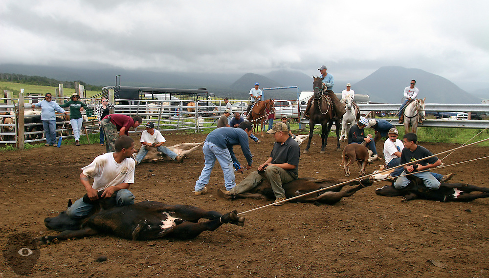Cowboys and helpers move about the corral as calves are branded at the Kuahiwi Ranch in the higher country above the town of Naalehu on the southern part of the Big Island, Hawaii.