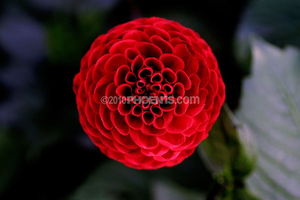 BLOOM!.A visual celebration of the stunning symmetry, colours and  elegance of flowers. .A book by phoenris. click on this link for a preview:<br /> <br /> http://www.blurb.com/bookstore/detail/1295906 BOOK_BLOOM_FLORA_PETAL_FLOWER