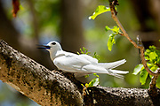 One White tern or White Fairy Tern (Gygis alba) in a  Tree. Photographed on Cousin Island, in the Seychelles, a group of islands north of Madagascar in the Indian Ocean.