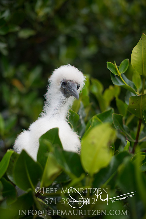 A Red-footed booby chick rests in a mangrove tree on Genovesa island, part of the Galapagos archipelago of Ecuador.