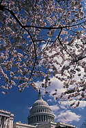 The US Capitol during the cherry tree blossoms in March 2002.<br /> <br /> Photo by Dennis Brack