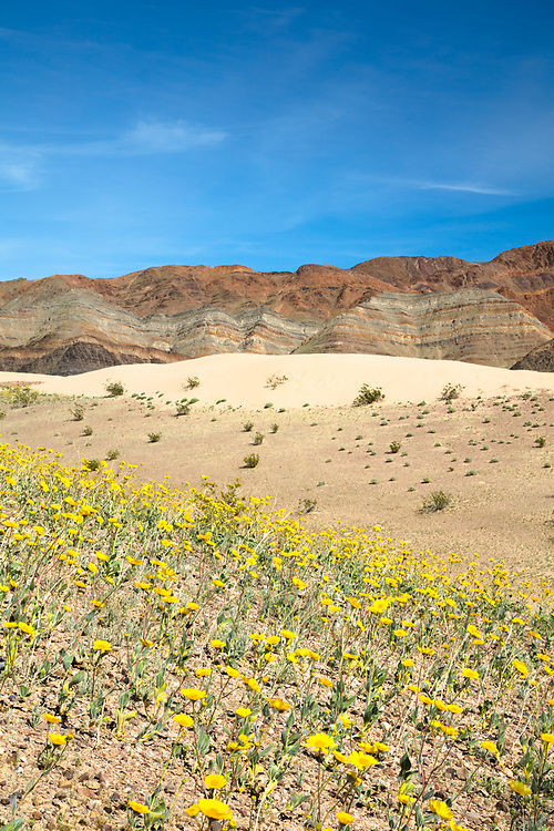 """""""Death Valley Wildflowers 5"""" - Photograph of yellow wildflowers in Death Valley, near the Ibex Dunes area."""