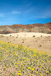 """Death Valley Wildflowers 5"" - Photograph of yellow wildflowers in Death Valley, near the Ibex Dunes area."