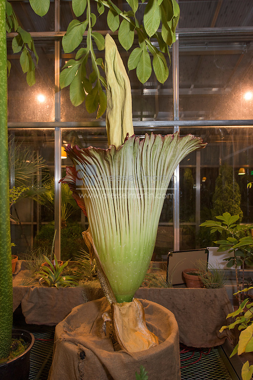 corpse flower bloom