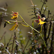 Cyrtochilum aureum, an orchid near the Interoceanic highway in Peru