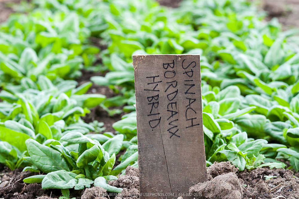 Bordeaux  Hybrid Spinach growing in a kitchen garden.