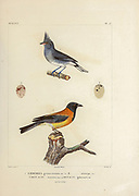 hand coloured sketch Top: grey-crested finch (Lophospingus griseocristatus [Here as Emberiza griseo-cristat]) Bottom: black-hooded sierra finch (Phrygilus atriceps [Here as Emberiza atriceps]) From the book 'Voyage dans l'Amérique Méridionale' [Journey to South America: (Brazil, the eastern republic of Uruguay, the Argentine Republic, Patagonia, the republic of Chile, the republic of Bolivia, the republic of Peru), executed during the years 1826 - 1833] 4th volume Part 3 By: Orbigny, Alcide Dessalines d', d'Orbigny, 1802-1857; Montagne, Jean François Camille, 1784-1866; Martius, Karl Friedrich Philipp von, 1794-1868 Published Paris :Chez Pitois-Levrault et c.e ... ;1835-1847