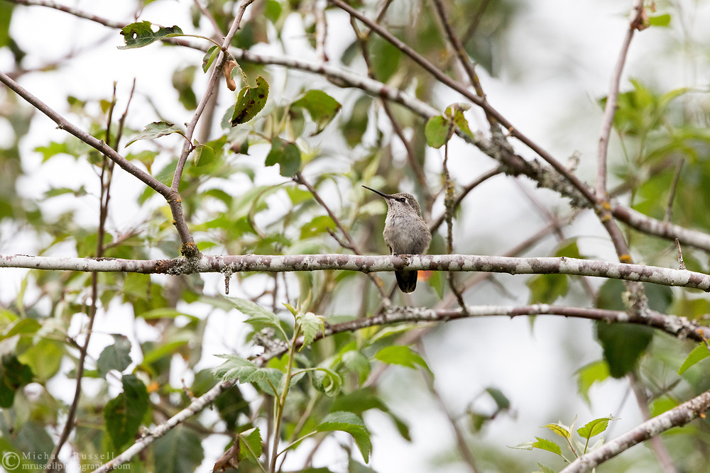 A young Annas Hummingbird (Calypte anna) perched on a branch at Elgin Heritage Park in Surrey, British Columbia, Canada.