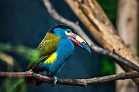 Toucan montagnard: Plate-billed mountain toucan. Andigena laminirostris. Son aire de repartition s&lsquo;etend sur la&nbsp;Colombie&nbsp;et l&rsquo;Equateur.<br /> Considere comme l&rsquo;un des plus importants parcs ornithologiques en Europe, le Parc des Oiseaux presente une collection d'oiseaux exceptionnelle de plus de 3000 individus, representant pres de 300 especes originaires de tous les continents.