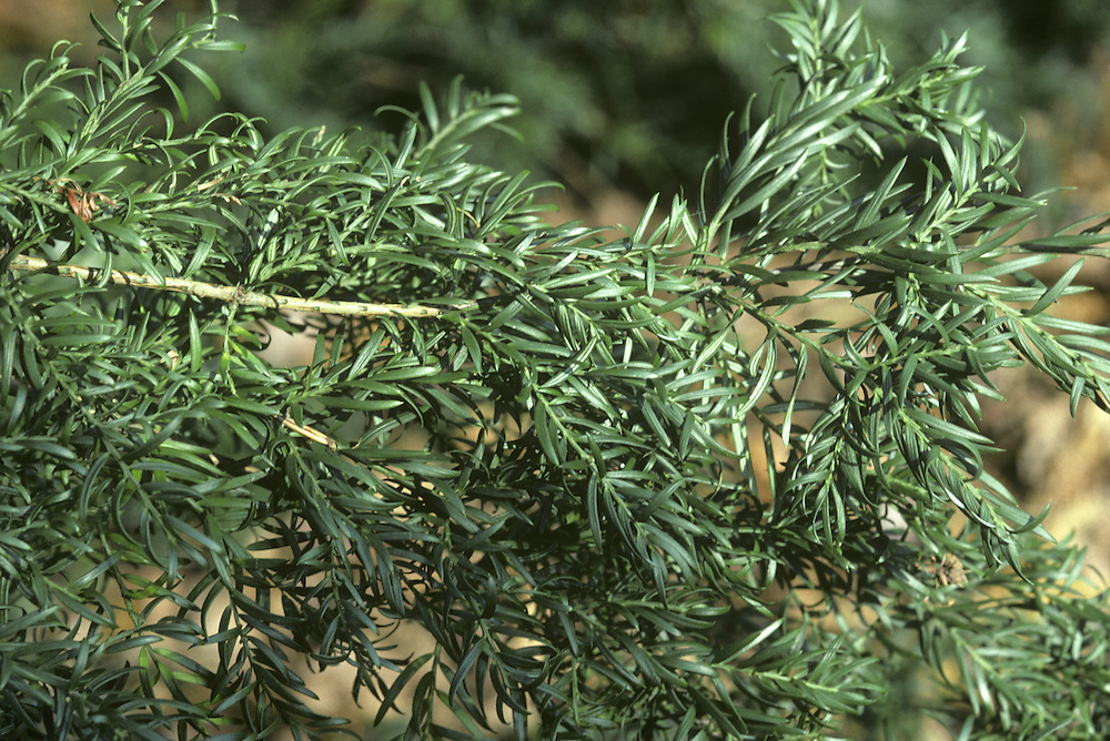 Prince Albert's Yew Saxegothaea conspicua (Podocarpaceae) HEIGHT to 18m. Often resembles a large yew, with a strong ribbed bole. BARK Reddish or purple-brown bark, peeling off in rounded scales. LEAVES Flattened, curved needles up to 3cm long, arranged untidily on the shoot. Tinged purple at first, becoming greener later. Note two pale bands on underside. Crushed leaves have a smell of grass. REPRODUCTIVE PARTS Male flowers are purplish, growing in leaf axils on undersides of shoots. Female flowers are small and blue-grey, and give rise to tiny greenish conelets that are borne at tips of shoots. STATUS AND DISTRIBUTION Native of forests of S Chile and Argentina, preferring damp, sheltered sites. Best specimens outside native area are found in Ireland and SW England.