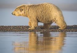 Polar bear (ursus maritimus) cub in Kaktovik, Alaska