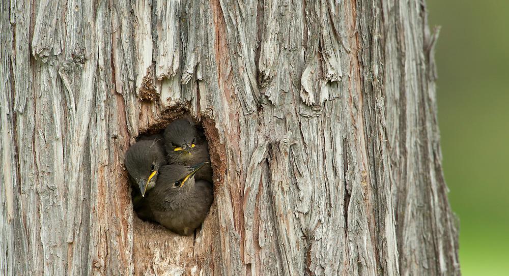 Starling Chicks, Western Montana
