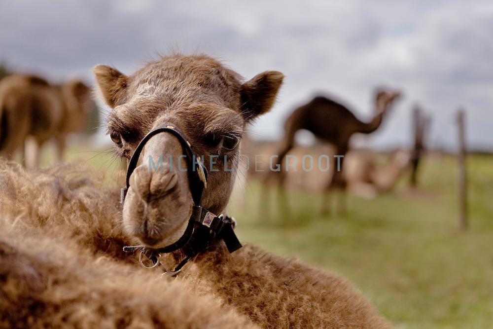 Header: For a Story by Doug Heingartner on a Dutch Camel Farm .Caption: Netherlands, Cromvoirt 06/09/2009 The camel farm of Frank Smits in Cromvoirt. The 26-year-old farmer saw an untapped market for camel milk in the.increasing number of European immigrants from Somalia and Morocco,.where camel milk has long been popular for its allegedly curative.properties..Credit reads: ///// Michel de Groot for the International Herald Tribune