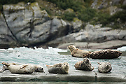 Harbor seals hauled out on ice in front of Dawes Glacier, in Endicott Arm, part of the Tracy Arm - Fords Terror Wilderness, Alaska.