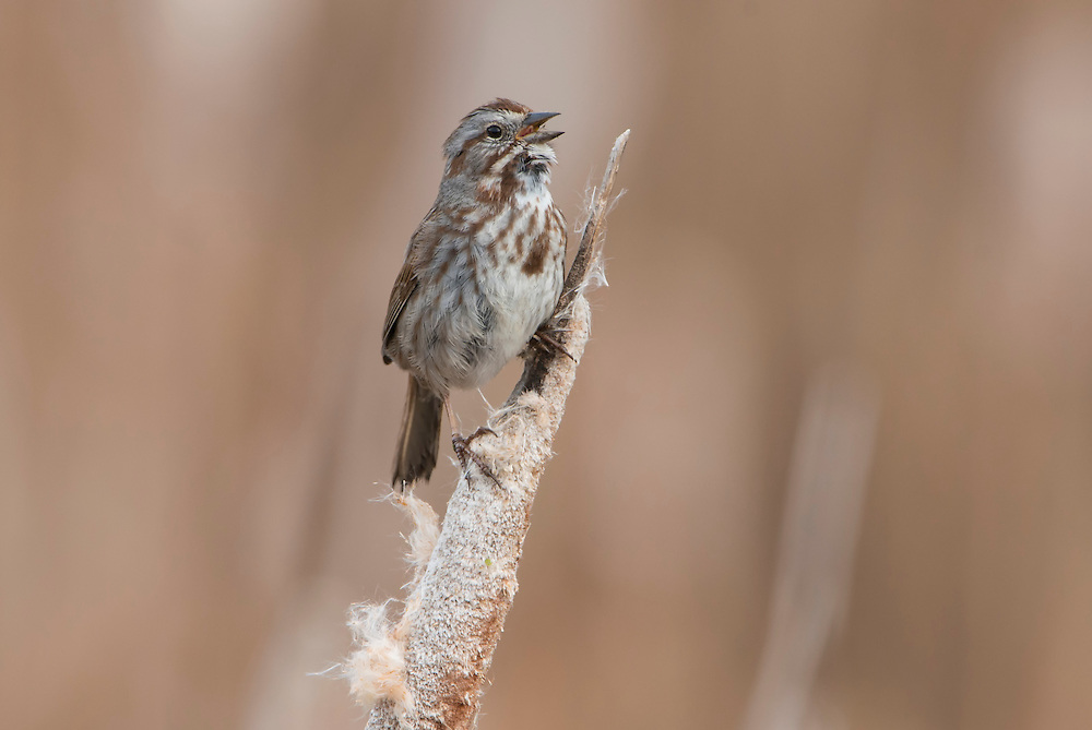A singing Song Sparrow (Melospiza melodia), Lee Metcalf National Wildlife Refuge, Montana