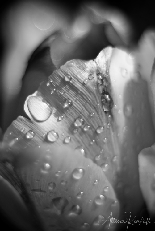Black and white, textures of water drops on tulip petals