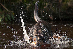 A four Year Old Mongrel Mixed Breed dog splashes in the river South of Crookland Wood on the edge of the Peak National Park<br />