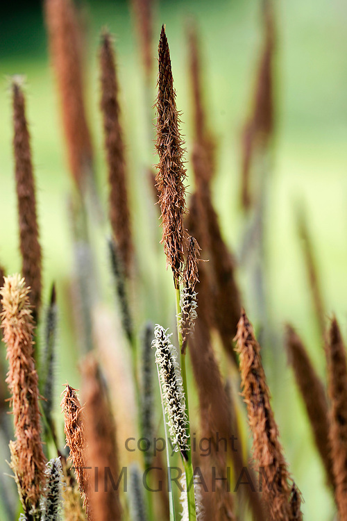 Wild Grasses,  England