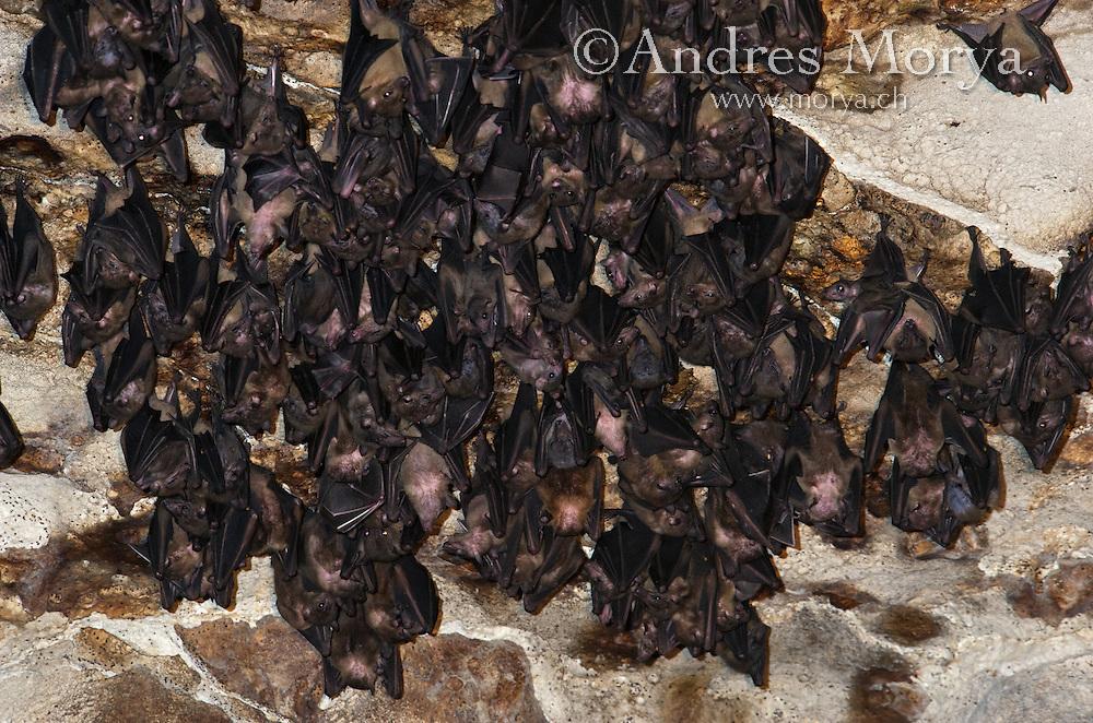 Bats inside Ankarana Cave Fruit Bats (Eidolon dupreanum), Ankarana National Park, Northern Madagascar Image by Andres Morya