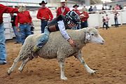 Child Sheep Racing<br /> <br /> Mutton busting is an event held at rodeos similar to bull riding or bronc riding, in which children ride or race sheep<br /> In the event, a sheep is held still, either in a small chute or by an adult handler while a child is placed on top in a riding position. Once the child is seated atop the sheep, the sheep is released and usually starts to run in an attempt to get the child off. Often small prizes or ribbons are given out to the children who can stay on the longest. There are no set rules for mutton busting,<br /> The vast majority of children participating in the event fall off in less than 8 seconds. Age, height and weight restrictions on participants generally prevent injuries to the sheep, and implements such as spurs are banned from use. In most cases, children are required to wear helmets and parents are often asked to sign waivers to protect the rodeo from legal action in that event.<br /> <br /> Photo shows: Amarillo, Texas, USA - Five-year-old Breccan Crockett tries to hang on to his sheep for up to six seconds at the mutton bustin' competition at the Tri-State Fair rodeo in Amarillo, Texas.<br /> ©Exclusivepix