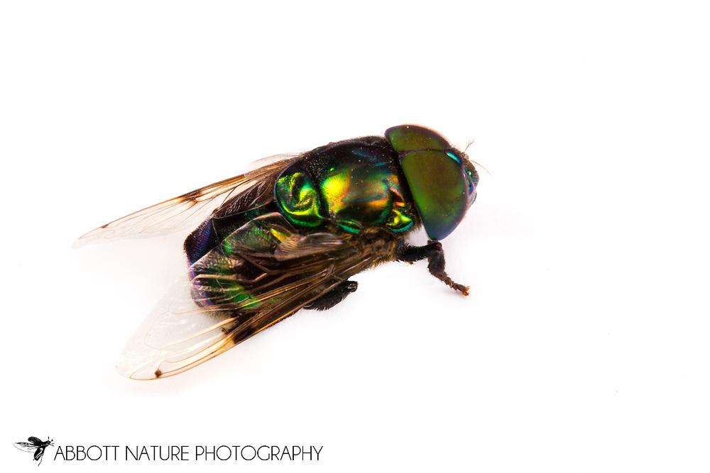 Hover Fly (Ornidia obesa)<br /> TEXAS: Hidalgo Co.<br />Anzalduas County Park; McAllen, 7.5 mi SW<br />9-Mar-2013  26.138692, -98.334948<br /> J.C. Abbott #2642 &amp; K.K. Abbott