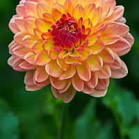 Close-up flower fine art photography of a beautiful orange flowering dahlia photographed at Thuya Garden in Northeast Harbor. The magical garden and its surrounding land is a wonderful mixture of flower beds and native eastern Maine woodlands situated on a granite hillside overlooking Northeast Harbor. There is limited parking at the entrance to the garden and at the bottom of the hill. There is  parking at the bottom of the hill and a climb up staircases rewards with stunning views of Northeast Harbor and surrounding areas.  <br /> <br /> Everything Beautiful, dahlia floral fine art photography pictures are available as museum quality photography prints, canvas prints, acrylic prints or metal prints. Flower fine art prints may be framed and matted to the individual liking and decorating needs at:<br /> <br /> http://fineartamerica.com/featured/everything-beautiful-juergen-roth.html<br /> <br /> All flower photos are available for digital and print use at www.RothGalleries.com. Please contact me direct with any questions or request. <br /> <br /> Good light and happy photo making!<br /> <br /> My best,<br /> <br /> Juergen<br /> Image Licensing: http://www.RothGalleries.com <br /> Fine Art Prints: http://juergen-roth.pixels.com<br /> Photo Blog: http://whereintheworldisjuergen.blogspot.com<br /> Twitter: https://twitter.com/naturefineart<br /> Facebook: https://www.facebook.com/naturefineart <br /> Instagram: https://www.instagram.com/rothgalleries