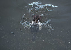 Bird in Figgate Park, Portobello, Edinburgh Pictured: Tufted Duck<br /> <br /> <br /> © Jon Davey/ EEm