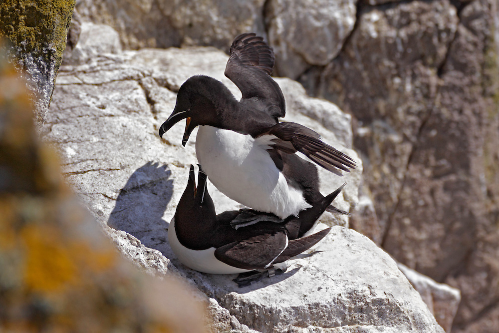 Razorbills copulating, Alca torda, Saltee Islands, Ireland