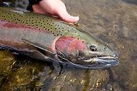 Winter steelhead fly fishing on the trinity River, CA