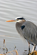 A great blue heron (Ardea herodias) on the bank of an irrigation channel. Ridgefield National Wildlife refuge, Washington.