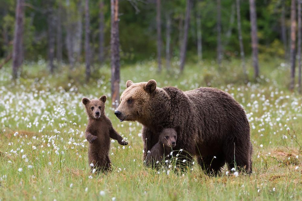 Bärenfamilie in Finnland