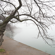 The famous cherry trees lining the edge of the Tidal Basin in Washington DC on a cold, foggy winter's day.