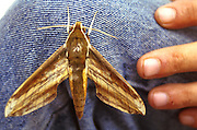 This large moth visited a friend while sitting on the steps at the mosque in Bandah Aceh, Sumatrah, Indonesia.