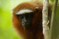 Dusky Titi Monkey (Callicebus discolor) at the Tiputini Biodiversity Station, Orellana Province, Ecuador